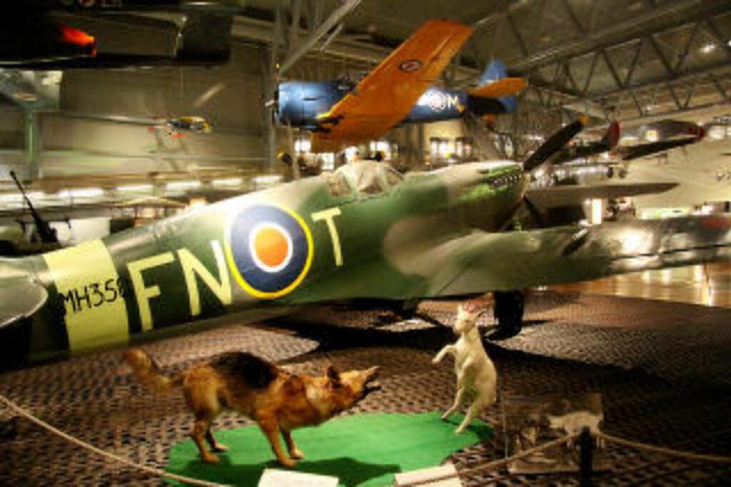 SPITFIRE:  Hunden Varg var maskot til 331-skvadronen og geita Mads var 332-skvadronens maskot på North Weald. Foto: KIRSTEN MARGRETHE BUZZI