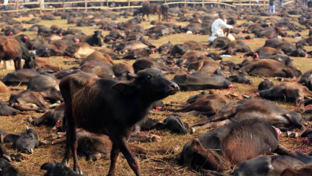 VANNBØFFEL: Tusenvis av vannbøfler må bøte med livet under ofringen. Festivalen som den rituelle ofringen er del av, avholdes hvert femte år. Foto: EPA/LAXMI PRASAD NGAKHUSI PICK UP