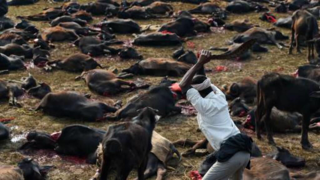 MASSEOFRING: Rundt 5000 vannbøfler skal i dag ha måttet bøte med livet på sletta foran Gadhimai-tempelet i Nepal. Foto: AFP PHOTO/ROBERTO SCHMIDT