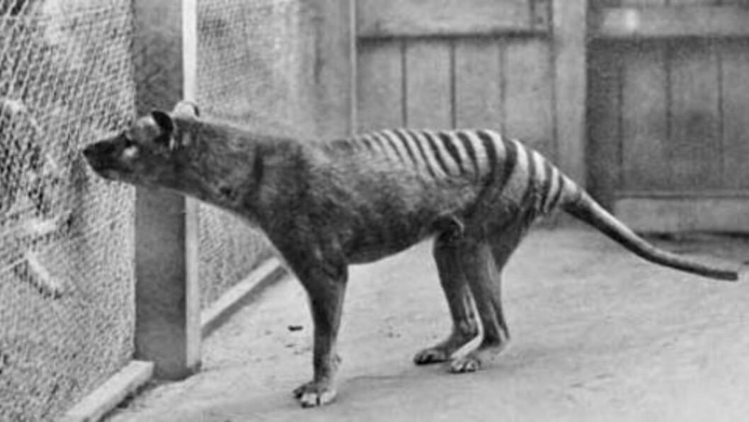 UTRYDDET: Tasmansk tiger eller pungulv på norsk, ble utryddet på 30-tallet. Foto: National Archives of Australia