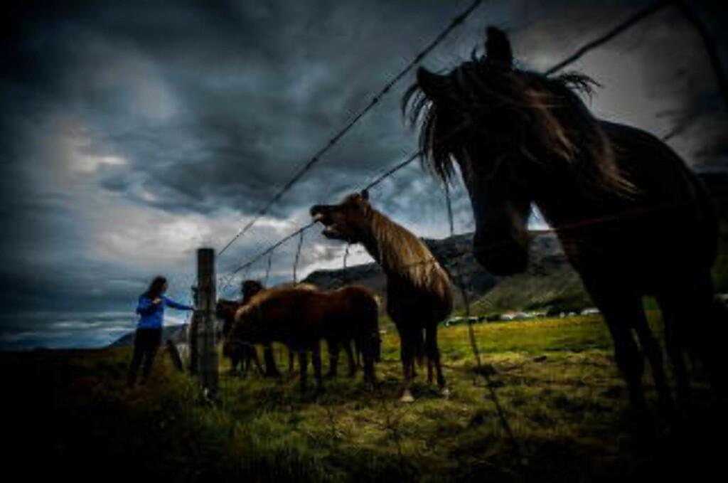 OVER ALT: Hester - både løse og inngjerdet - finnes over alt på Island. Disse holder til like ved Vatnajökull, isbreen som dekker store deler av syd-østlige Island. Foto: THOMAS RASMUS SKAUG