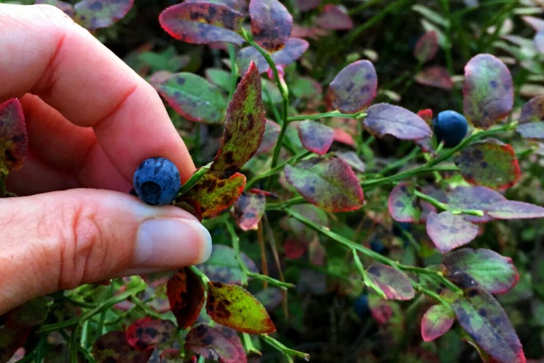<strong><b>IKKE BARE BLÅBÆR:</strong></b> Nei, revens dvergbendelmark angriper ikke kun blåbæra - den kan finnes på alle slags bær og sopp. Men den er ennå ikke registrert kommet til Norge. Og nei, du kan ikke få kreft av å spise parasittinfiserte bær - men du kan bli smittet av en annen kronisk sykdom som krever livslang behandling. Foto: KRISTIN SØRDAL