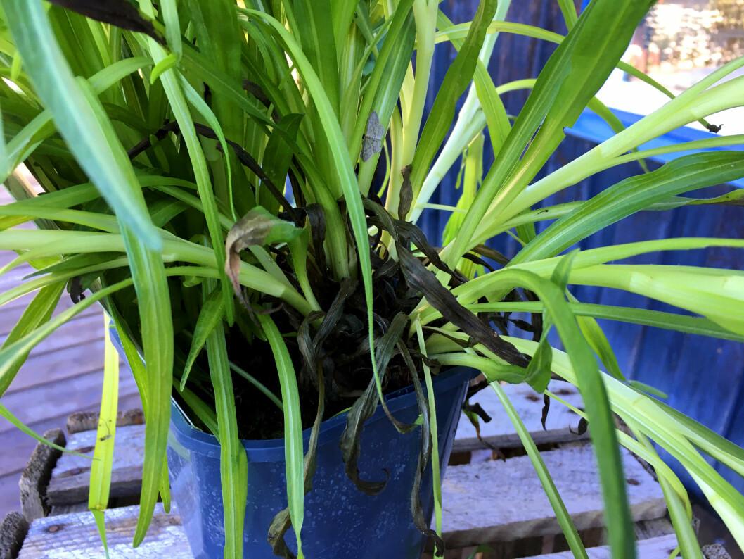 <strong><b>DETTE ER GREIT:</strong></b> Litt visne blader på den nedre delen av planten? Det er helt uproblematisk, sier Holter-Hovind. Foto: KRISTIN SØRDAL