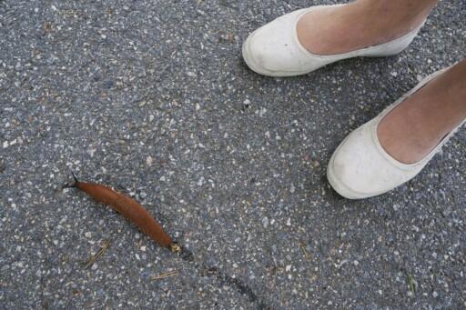 IKKE FÅ PANIKK: Brunsneglen er et koselig dyr, mener zoologen. Foto: THORFINN BEKKELUND / SAMFOTO / SCANPIX