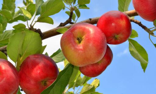 image: Slik planter du frukttrær og bærbusker i hagen og på terrassen