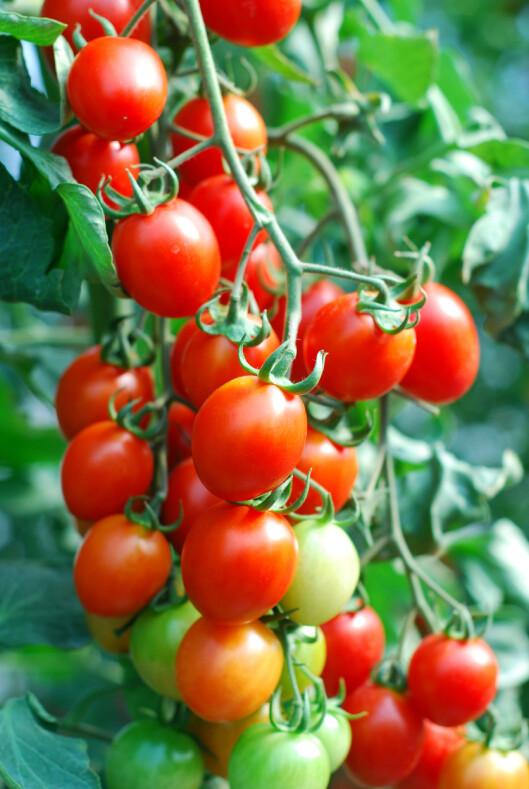 <strong><b>HØSTEKLAR:</strong></b> En klase modne tomater klar til å spises. Foto: SHUTTERSTOCK
