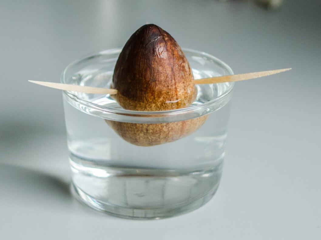 <strong><b>5:</strong></b> Plasser steinen i et glass, slik at rundt 35-50 prosent er dekket av vann. Hver tredje dag bør du skifte vannet og skylle steinen. Topp ellers opp glasset etter behov. Foto: AKSEL RYNNING