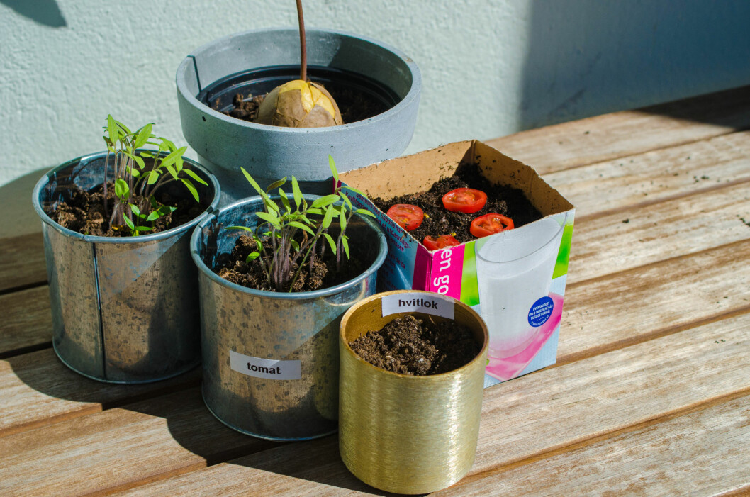 <strong><b>FORT OG GÆLI:</strong></b> Du trenger ikke å være ekspert for å få det til å gro. Prøv deg for eksempel på avokado-, hvitløk- og tomatdyrking Foto: AKSEL RYNNING
