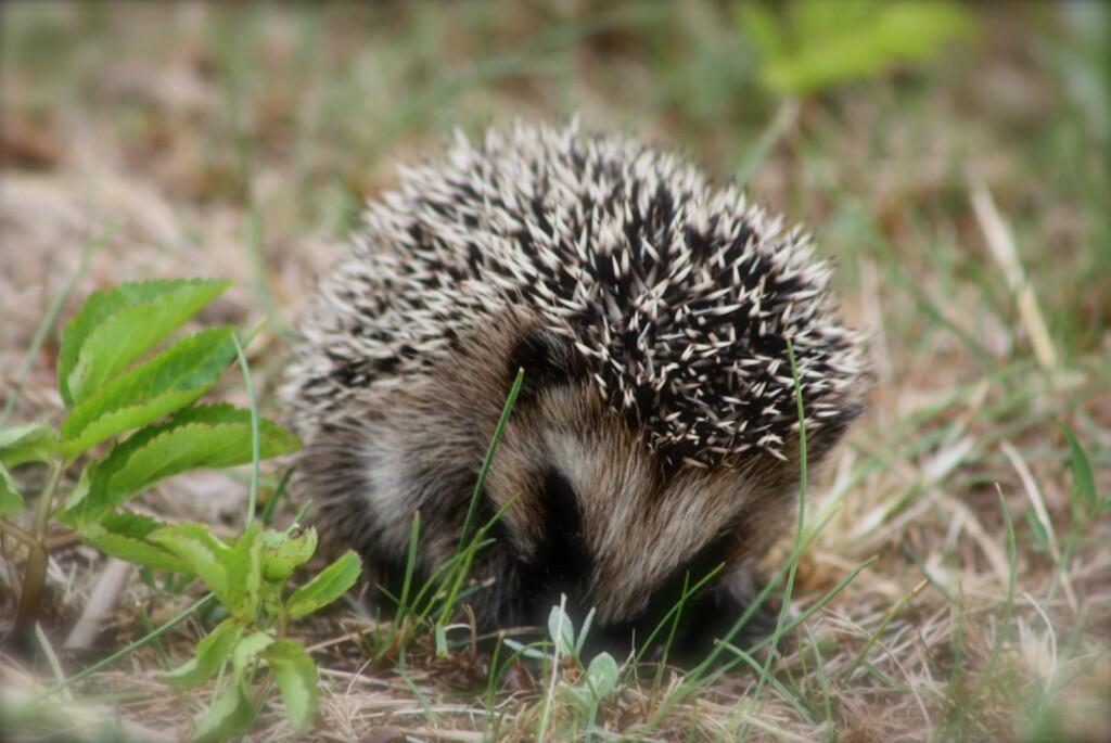 <b>SPISER SNEGLEEGG:</b> Ikke bare er de søte å se på, de er også nyttige i bekjempelsen av brunskogsnegler. Foto: PINNSVINHJELPEN