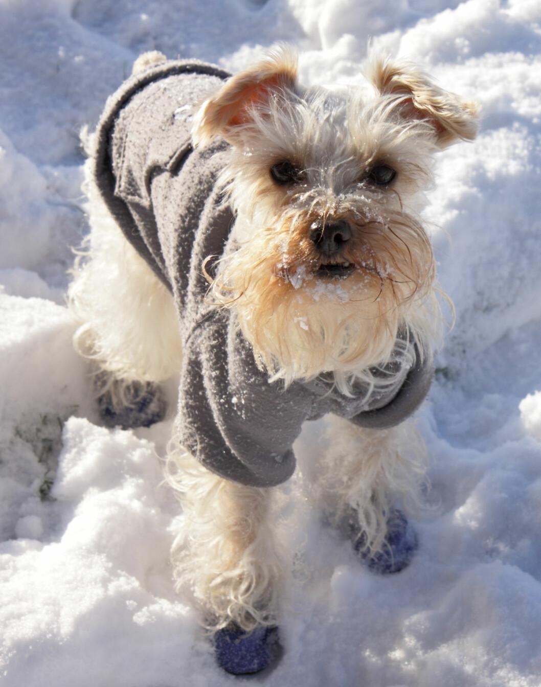 <b>KLE PÅ DEM!</b> Det er ikke alle hunder som tåler kulde like godt. Her spiller pels, underhudsfett og metabolisme inn. Husk bekledning som varmer - til forskjell for bekledning for utseendets skyld! Foto: SHUTTERSTOCK/JOYCE MARRERO/NTB SCANPIX