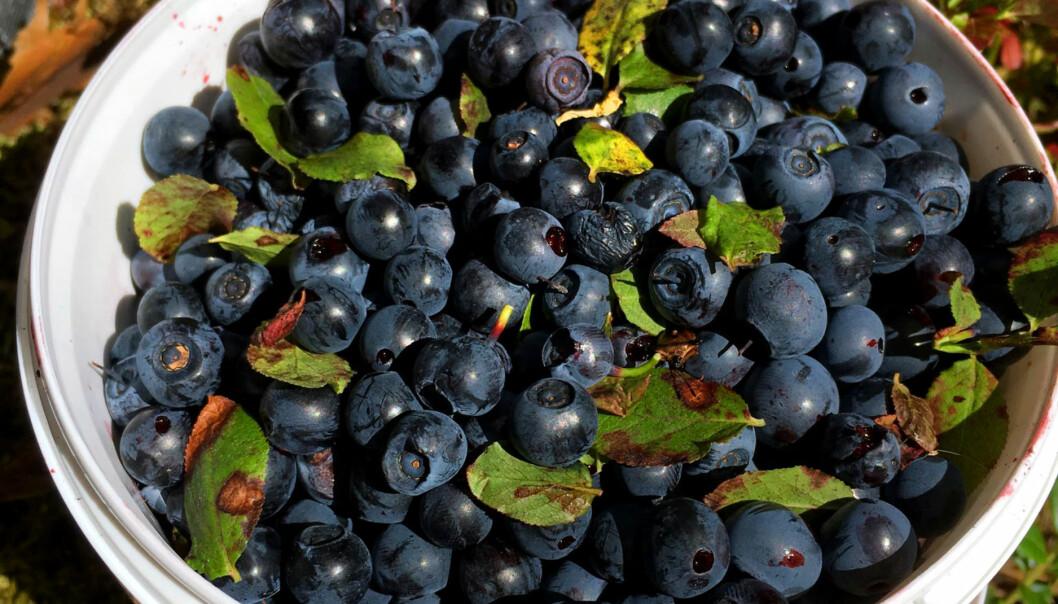 <strong>IKKE BARE BLÅBÆR:</strong> Blåbær rett fra tua har fått et ufortjent dårlig rykte i sommer. Eksperter Dinside har snakket med sier det er helt greit å spise bær fra tua i skogen, og du trenger heller ikke vaske dem først - om du bare ikke plukker i nærheten av avføring eller kadaver. Men se opp også ved plukking av andre bær og sopp - det er nemlig ikke slik at harepesten kun går på blåbærene! FOTO: KRISTIN SØRDAL/DINSIDE