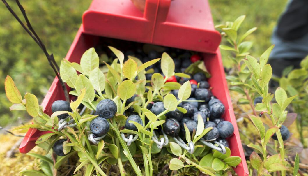 <strong>INGEN FARE:</strong> Du kan trygt plukke og spise bær i skogen, det er faktisk tryggere å spise dem enn å spise noe du har kjøpt - for da vet du hvordan de er plukket og behandlet. Foto: Gorm Kallestad / NTB scanpix