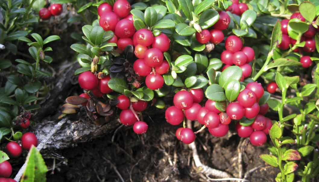 <strong>HAREPESTEN KAN SITTE PÅ ALL SLAGS BÆR OG SOPP:</strong> Det er ikke kun blåbær som kan være bærer av harepest, den kan finnes på all slags bær og sopp. Foto: Gorm Kallestad / SCANPIX