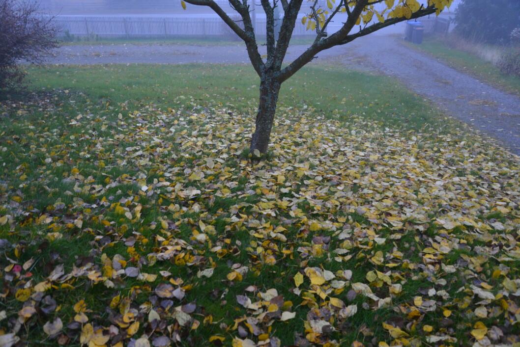 <strong><b>LØVET HAR FALT:</strong> </b>Slik så det ut, det er litt blader igjen på trærne, men vi satser på at det blåser bort. Foto: BRYNJULF BLIX