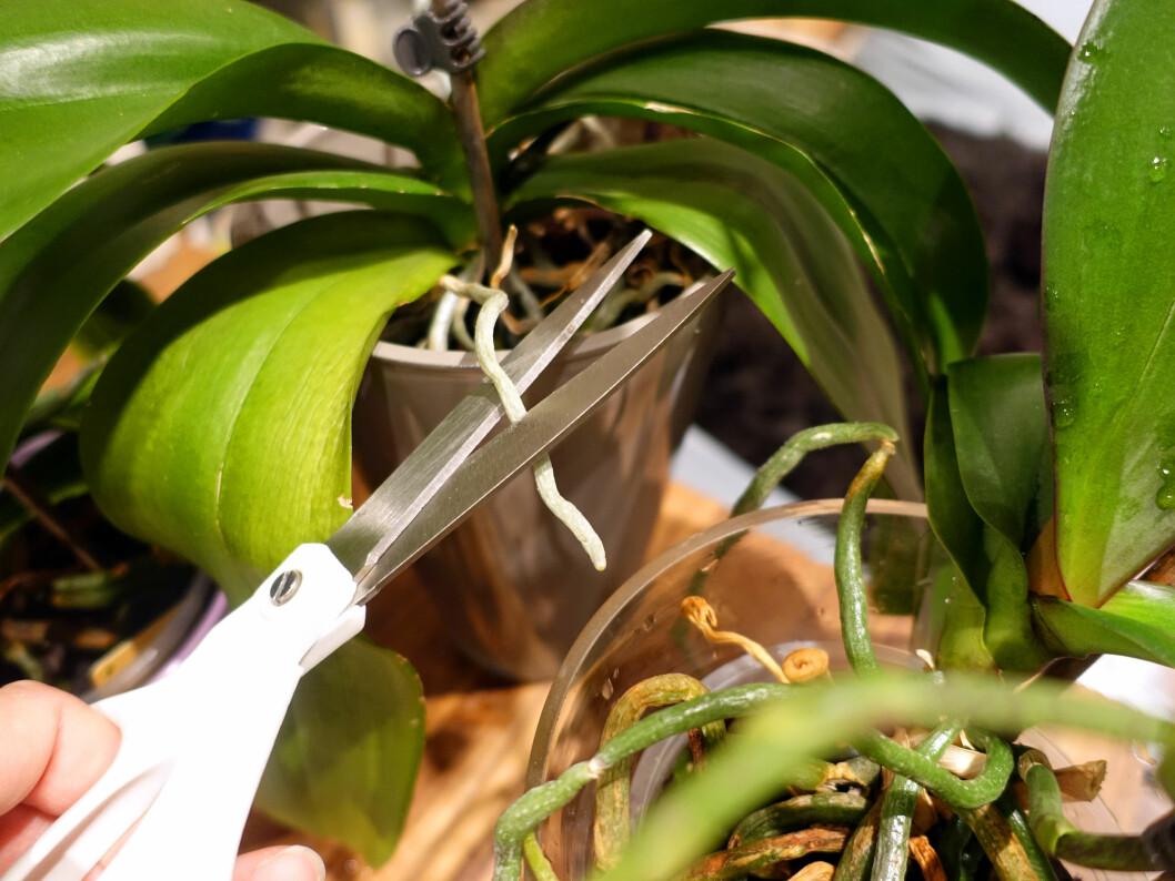 <strong><b>KLIPP AV:</strong></b> Røtter som stikker ut over potteplanten kan klippes. Foto: KRISTIN SØRDAL