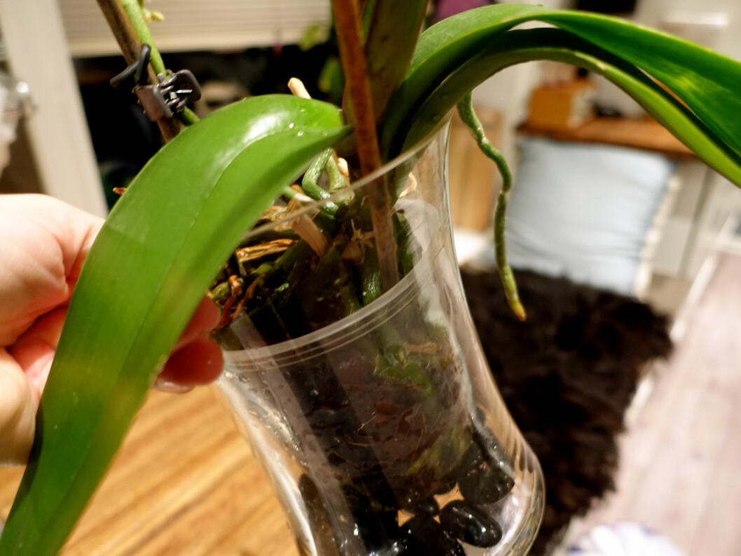 <strong><b>GJENNOMSIKTIG:</strong></b> Orkidéene trives best i gjennomsiktige potteskjulere, slik at røttene får lys. Foto: KRISTIN SØRDAL