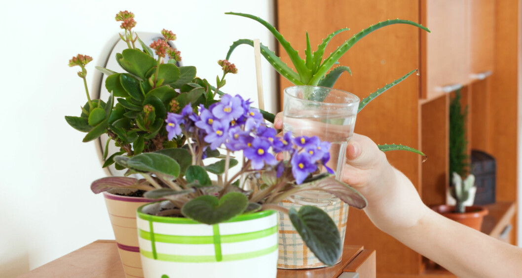 <strong><b>IKKE VANN FOR MYE:</strong></b> I 90 prosent av tilfellene hvor inneplanter takker for seg, er det fordi vi har vannet for mye. Foto: JACKF/FOTOLIA/NTB SCANPIX