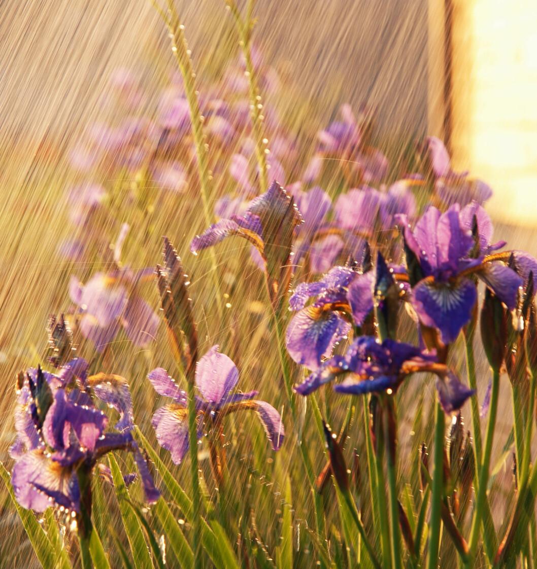 <strong><b>GI DEM EN DUSJ!</b> Plantene blir også støvete:</strong> Gi dem en dusj! oppfordrer gartner Hilde Poppe. Foto: ANASTACIA GUDZ/FOTOLIA/NTB SCANPIX