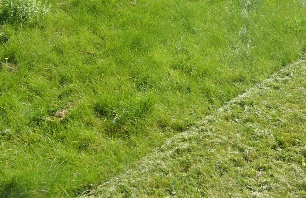 <strong><B>EN UTFORDRING:</strong> </B> Langt og vått gress er en utfordring for alle gressklippere... Foto: BRYNJULF BLIX