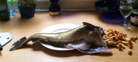 Derfor spreller den hodeløse torsken