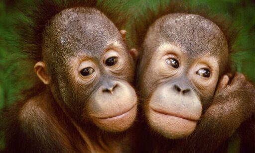 image: Om få år kan orangutangen være utryddet: - Situasjonen er akutt.