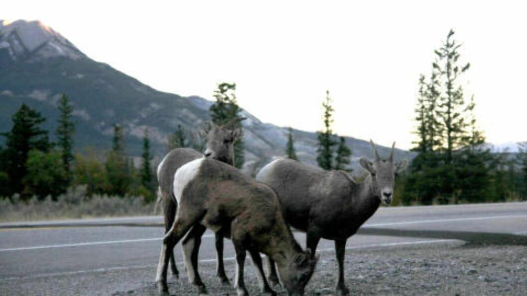 <strong>VILLE VEIER:</strong> Du er nesten garanter å se ville dyr når du kjører gjennom de kanadiske nasjonalparkene. Her noen tykkhornsauer. Foto: PETTER LØKEN