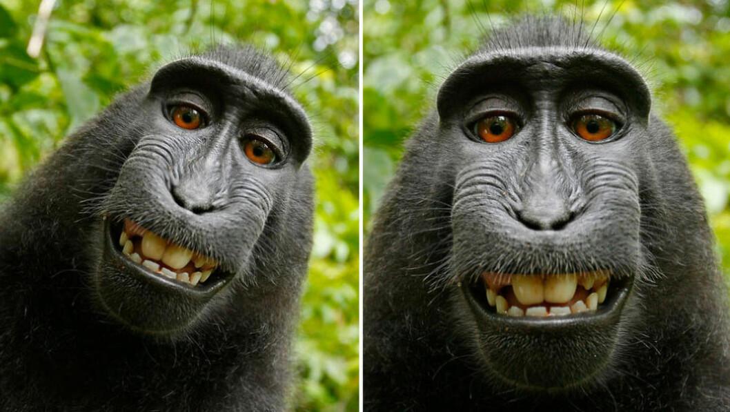 VILLE IKKE SLETTE: Denne makak-apekatten tok bilder av seg selv med fotografens kamera. De havnet på Wikipedia. Fotografen ville ha dem slettet, men Wikipedia svarte at det ikke var han som hadde opphavsretten. Foto: Wikimedia commons