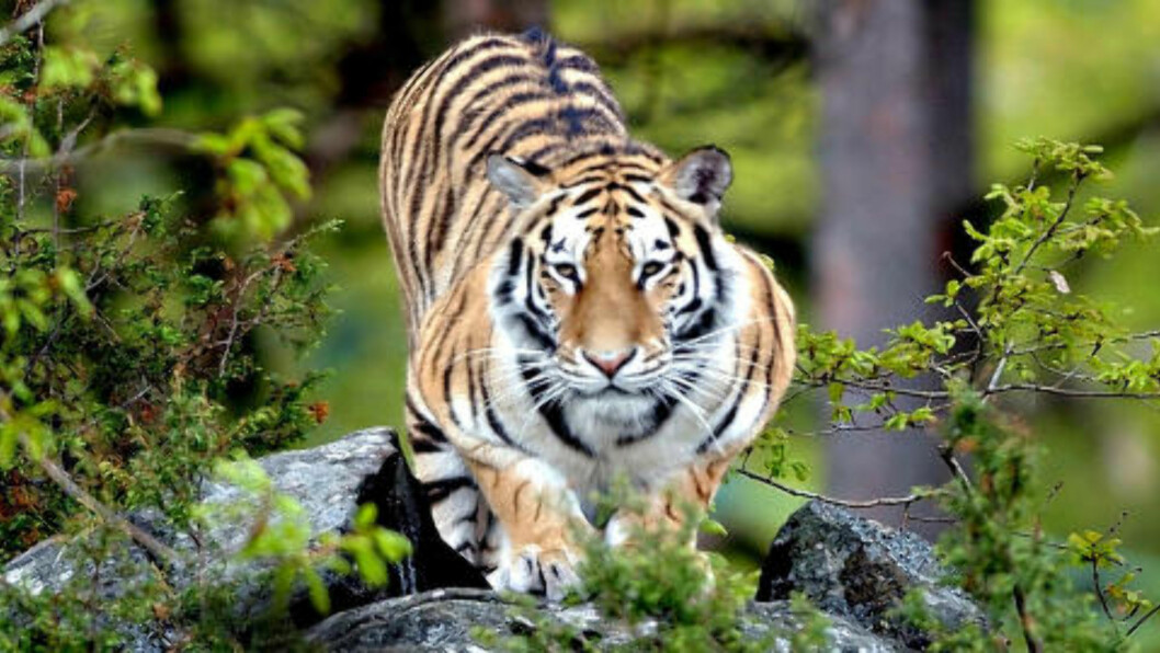 TØFFING: Tør du være alene i dyreparken om natta, i selskap med tigre, ulver og løver? Foto: DYREPARKEN