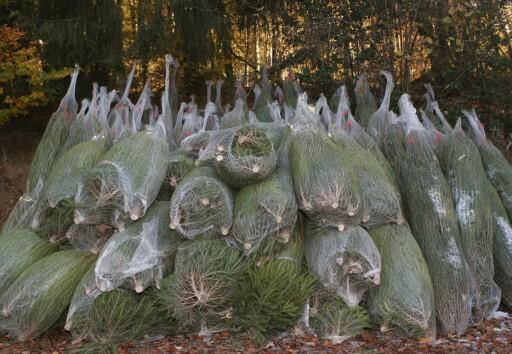 NETTINGEN: Når du setter treet til akklimatisering, skal du fjerne nettingen. Foto: COLOURBOX.COM