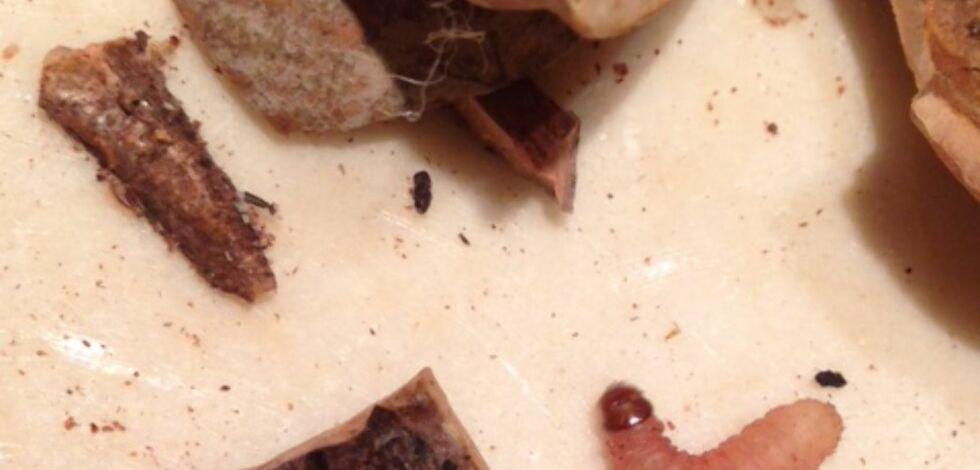 image: Fant larver i nøttepose
