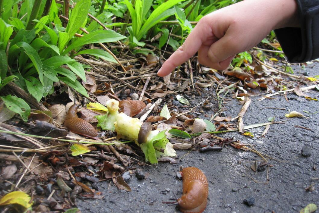 <strong><b>FORINGSTID:</strong></b> Rydd og sørg for at ikke åpenbar sneglemat er alt for lett tilgjengelig. Foto: KAROLINE BRUBÆK