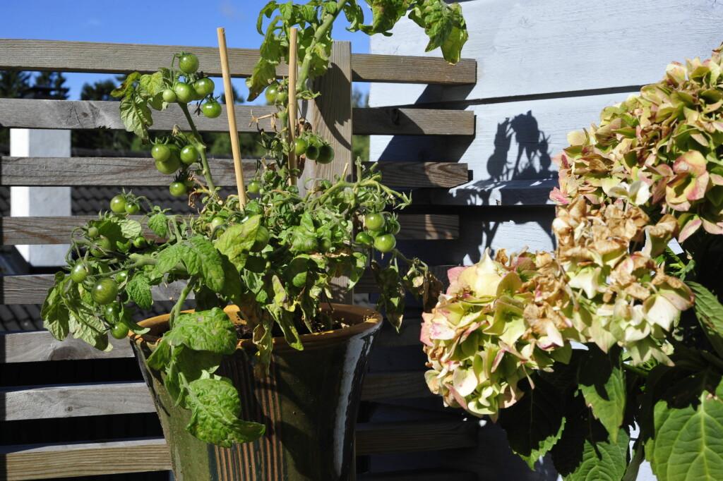 Vil du høste de siste grønnsakene, bør du snart tenke på å ta grønnsaksplantene inn, før frosten kommer. Foto: Kristin Sørdal