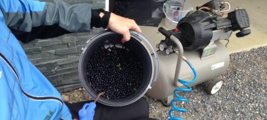 Rens blåbærene med kompressoren
