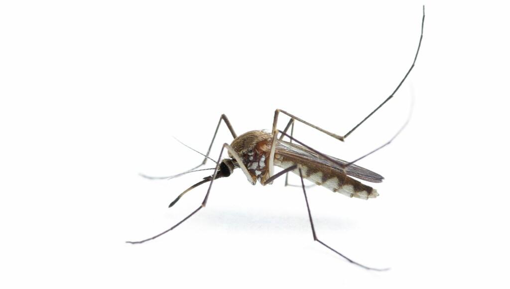 PLAGSOM: Bruker du myggmiddel på både hud og klær, blir ikke denne krabaten så plagsom i sommer.  Foto: PantherMedia