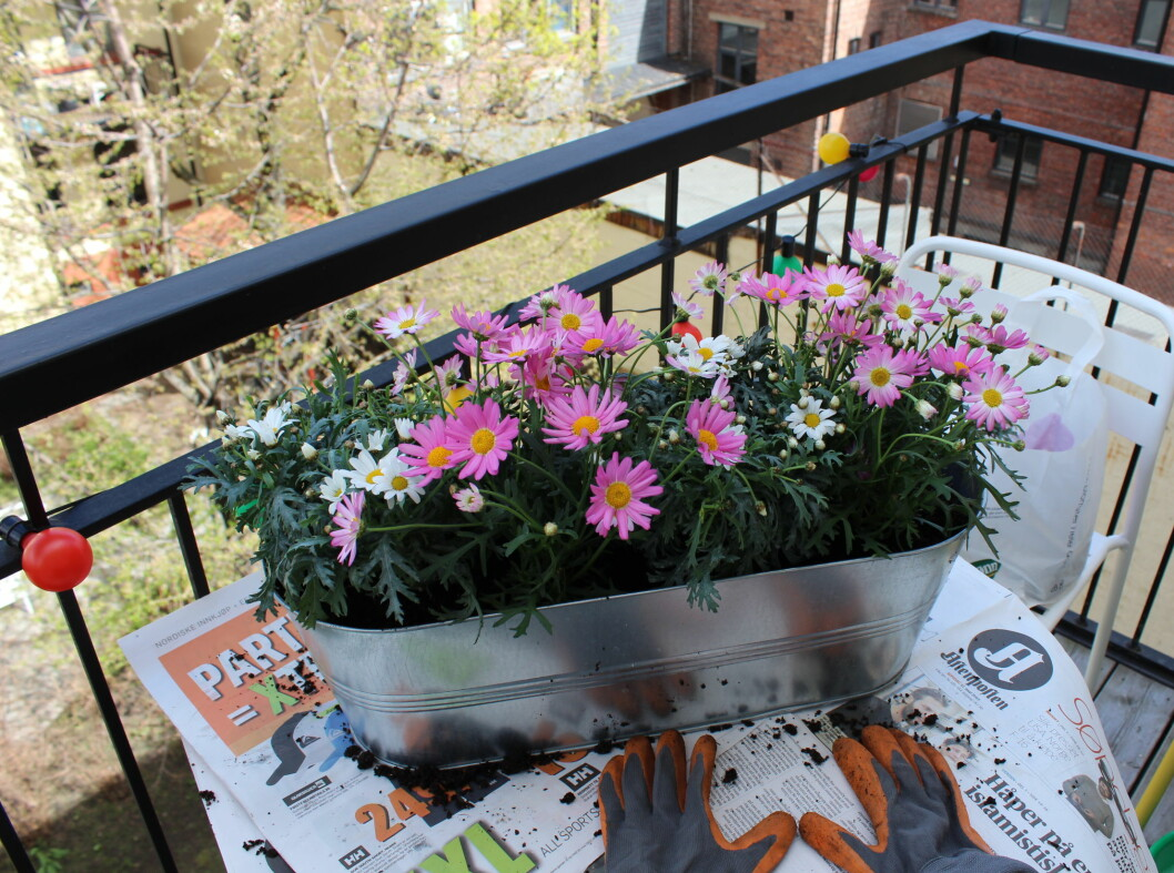 ... og planter deretter på vanlig måte. Foto: Elisabeth Dalseg