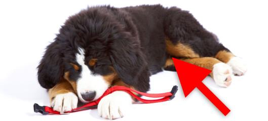 Hund manglet testikkel – fikk halv pris