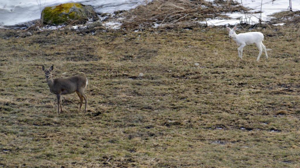 SÆRSYN:  Dette hvite, halvvoksne rådyret i Oppdal er et svært sjeldent syn i norsk fauna. Her sammen med rådyr med normal farge. Foto: Morgan Frelsøy, Opp.