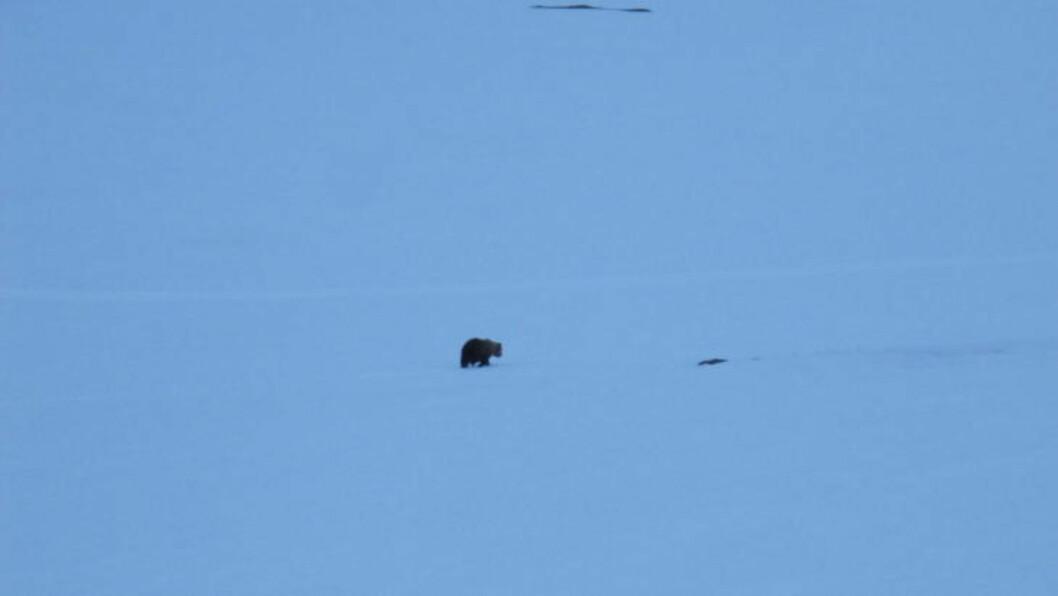 <strong>FØR DEN BLE SKUTT:</strong> Her rusler bjørnen. Foto: Statens naturoppsyn