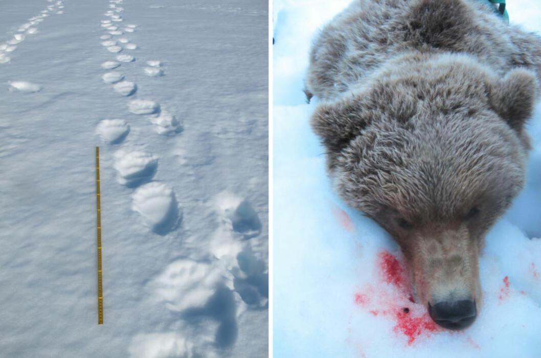 <strong>SPORET:</strong> Dette er den siste bjørnen som ble skutt på Saltfjellet natt til tirsdag. Den omlag 100 kilo tunge hannbjørnen var da på vei inn i et kalvingsområde for rein. Foto: Vegar Pedersen / Statens naturoppsyn