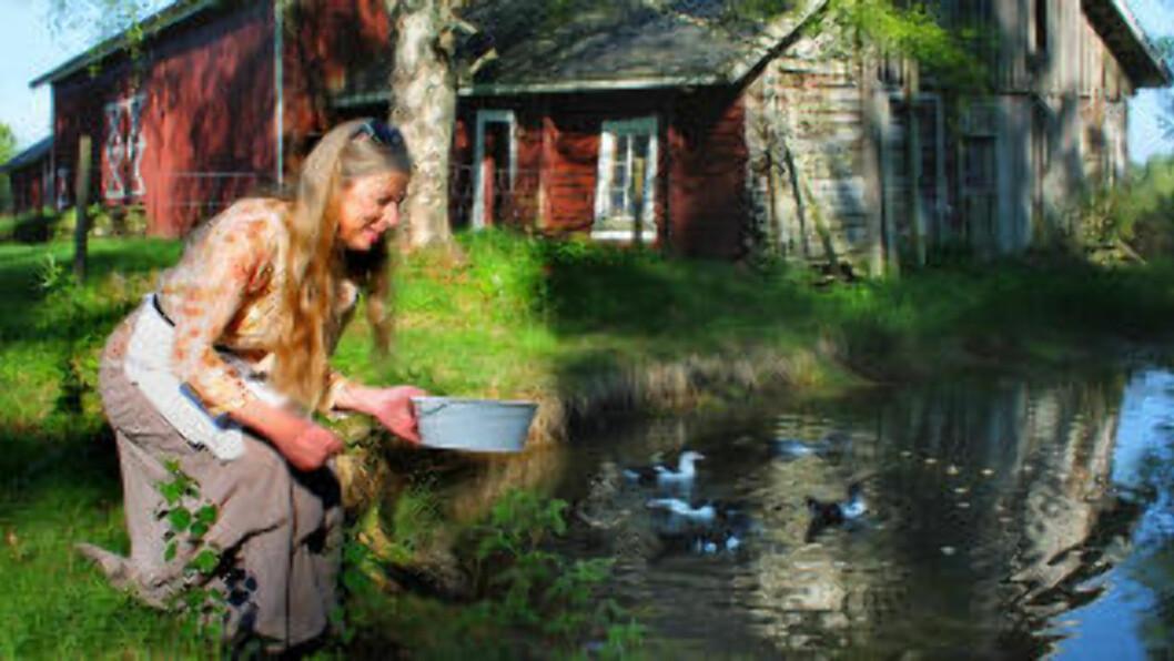 <strong> I ØSTFOLD:</strong>  Moskusender svømmer i dammen ved den gamle låven på tradisjonsrike Aslakstrøm gård. Foto: KIRSTEN MARGRETHE BUZZI