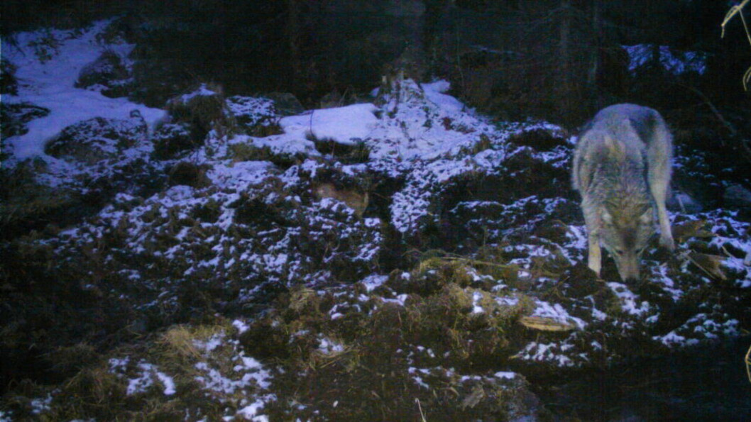 <strong> ULV I HOVEDSTADEN:</strong>  Her er en av ulvene i Østmarka i Oslo fanget opp av et viltkamera 17. mars i år.  Foto: © http://viltkamera.nina.no.