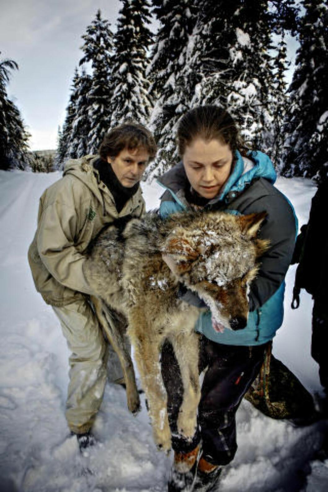 Petter Wabakken og hans team i det skandinaviske forskningsprosjektet SKANDULV, merker 6 ulver fra Slettåsreviret i skogene mellom Elverum og Trysil. Aldri tidligere har så mange ulver blitt merket samtidig i Norge. Her Petter Wabakken og vetrinær Alina Evans  Foto: Jørn H. Moen / Dagbladet