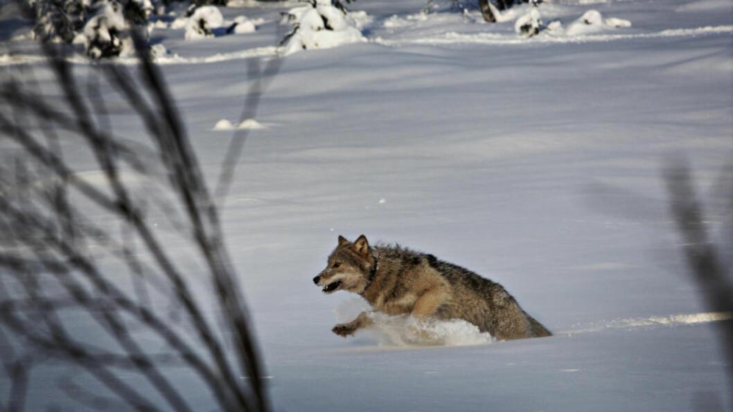 <strong>Truet:</strong> Regjeringen vil nå sette egne norske bestandsmål for ulv. I rovdyforliget fra 2011 var utgangspunktet at ulv skal forvaltes sammen med Sverige. Foto: Jørn H. Moen