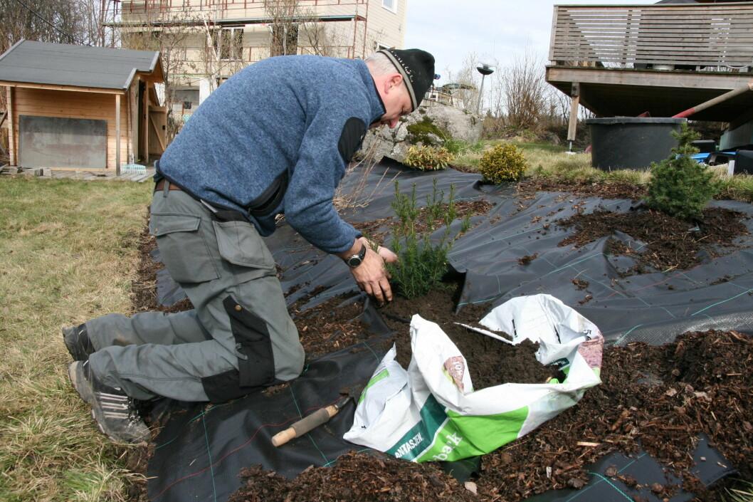 Gartnermester Trond Åge Blomstervik mener at en kraftig duk og mye bark kan hjelpe å holde gresset unna bedet. Før han planter grønne vinterbusker, blir de gjennomvåte i lunkent vann. Foto: Maren Synnevåg