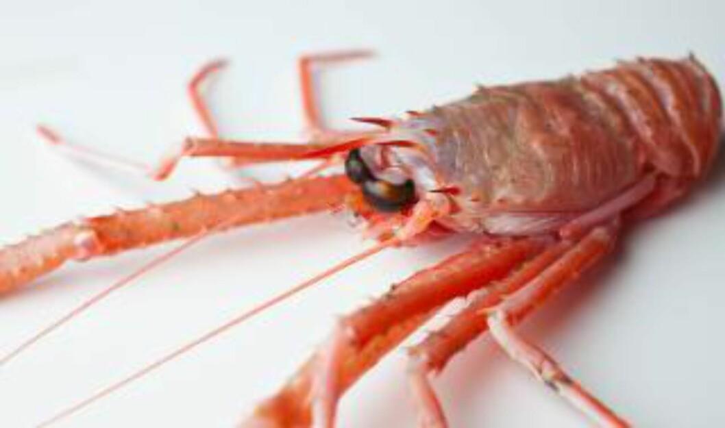 <strong>TRUET:</strong> Alle krebsdyr er truet av klimaendringene. Foto: Havforskningsinstituttet