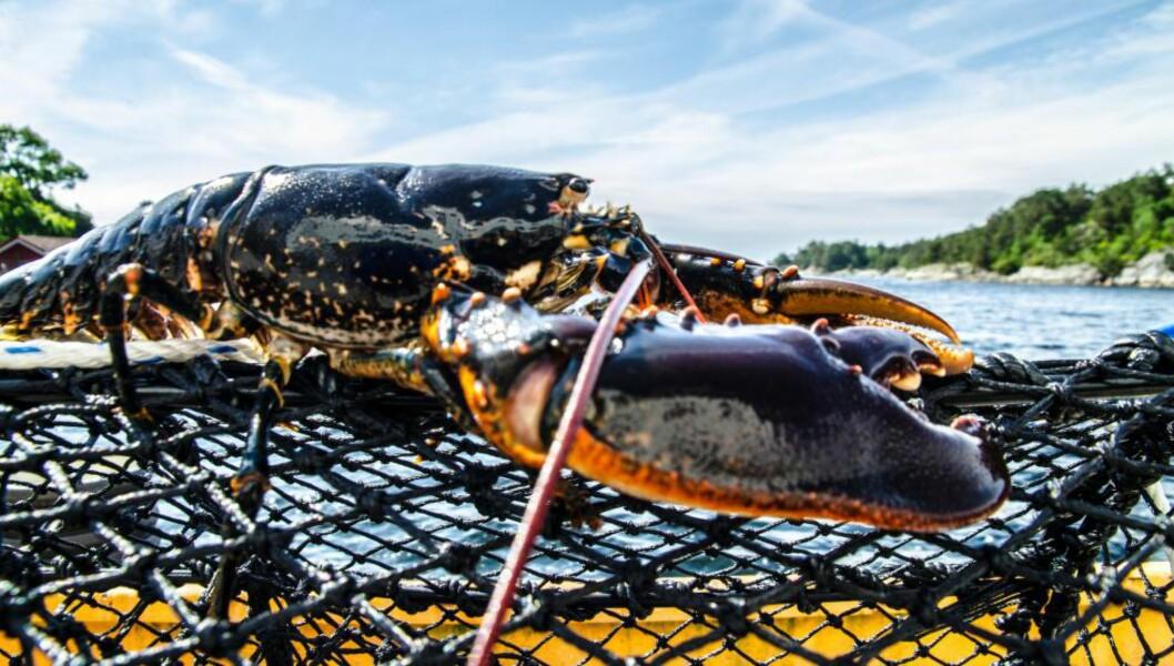 <strong>TRUET:</strong> Hummer og andre skalldyr er truet av klimaendringene, ifølge forskere i FNs klimapanel. Foto: Havforskningsinstituttet