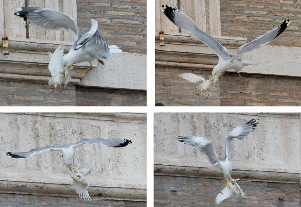 HAUK SKAL LØSE DETTE PROBLEMET: En spesialtrenet hauk skal nå sørge for at pavens duer skal få fly i fred, og ikke bli angrepet av sultne måkler og kråker, etter at paven sender de ut i fredens tegn. Foto: AP / Gregorio Borgia / NTB scanpix
