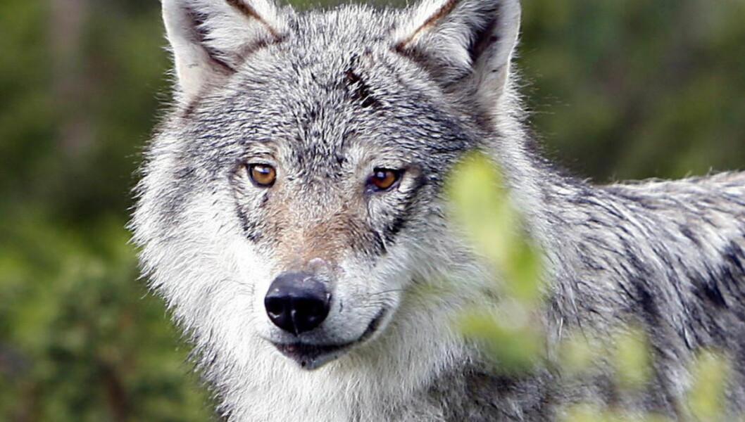 <strong>EVENTYR:</strong>  De tror hardnakket på et eventyr jeg forlot som seksåring, og jakter skyggene av det i egen fantasi, skriver artikkelforfatteren om de som jakter ulv ulovlig.  FOTO: Ole C. H. Thomassen