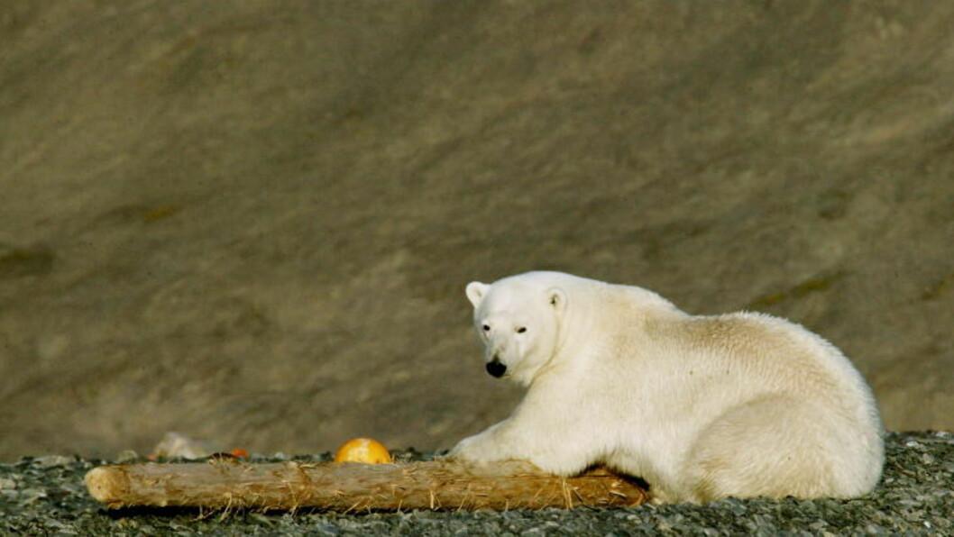KLIMATAPER:Isbjørnens livsgrunnlag er truet av issmeltingen på polene, men er klimautfordringene menneskeskapte? Foto: ALEKSANDER NORDAHL / Dagbladet