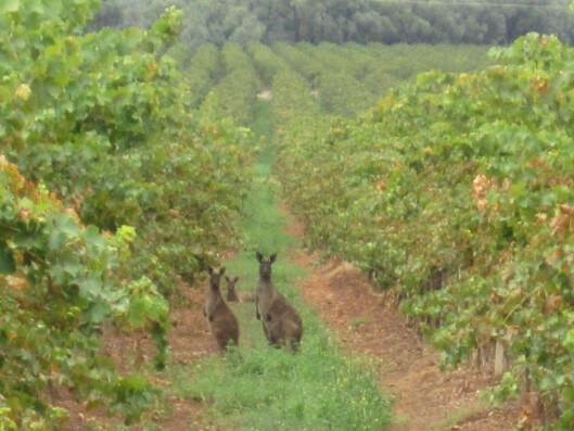 <strong><b>OPPLEVELSER:</strong></b> Opplevelsene og erfaringene fra vingårdene er lønna, i tillegg til reise og opphold. Foto: Lindeman's